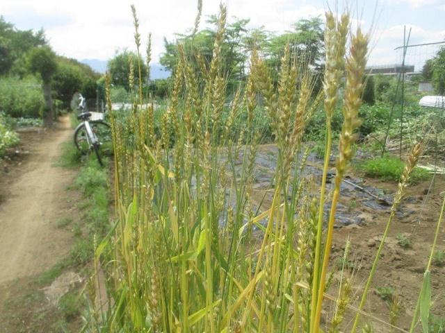 小麦の収穫 ~2019年~