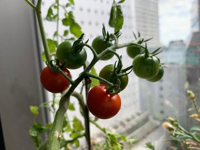 ミニトマトが!