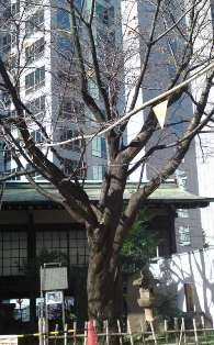 konnosakura.JPG